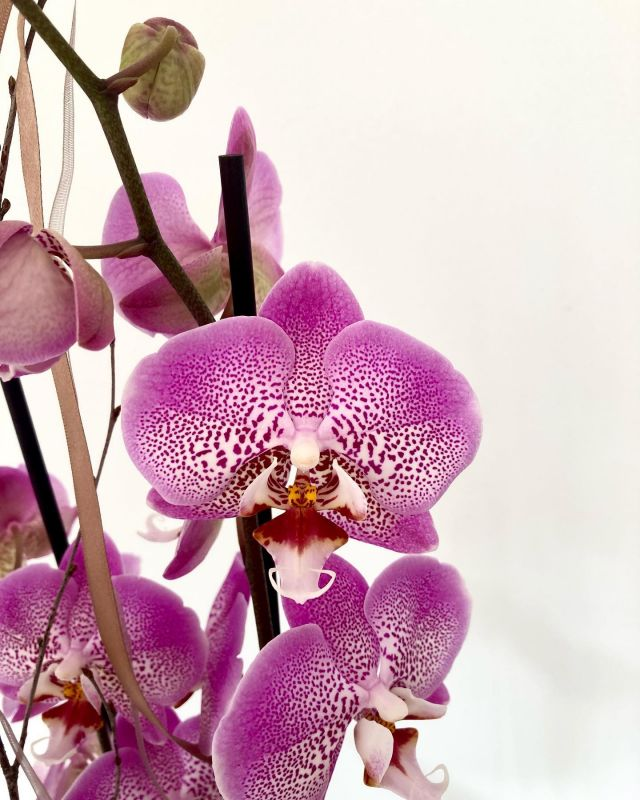 Orquídea 💫 Delicada, elegante, duradera... . . #floristeriaacacia #floristeria #orquideas #orquídeas #orquidea #elegante #colores #variedades #simetria #comerciolocal #pequeñocomercio #tafalla #navarra